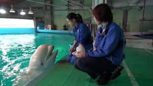 Talking beluga preciously speaks on command to trainer