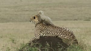 Tiny cheetah cub sits on mum's head to admire the Kenyan savannah