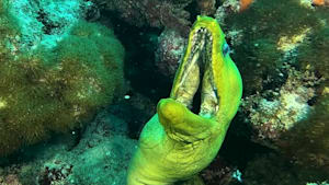 Mouthy moray eel