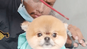 Watch this adorable Pomeranian dog get a haircut