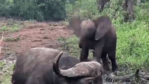 Baby elephant and buffalo face off
