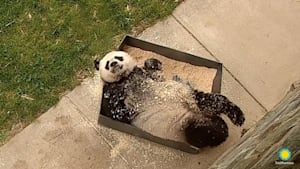 Forget snow, this giant panda loves wood shavings