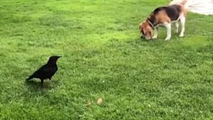 Beagle and crow play together in garden