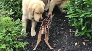 Two Golden Retrievers meet baby deer