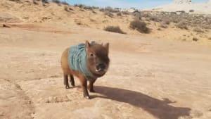 Little pig in a sweater strolls around in desert
