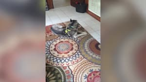 Guilty dog gets confronted, hilarity ensues