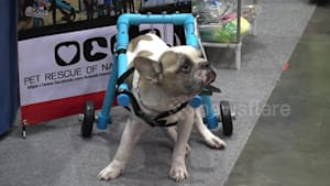 Heartwarming moment disabled dogs try wheelchairs