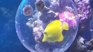 Plastic bubble trap safely removes fish from tanks