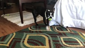 French Bulldog excited to play with ball thrower