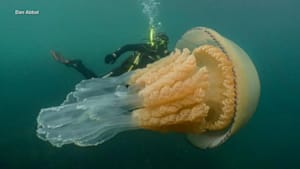 Rare, human-sized jellyfish spotted off UK coast