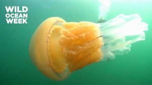 1,5m große Qualle begeistert Taucher im Ärmelkanal