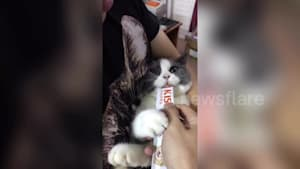 Cat gets mad when owner takes away its treat
