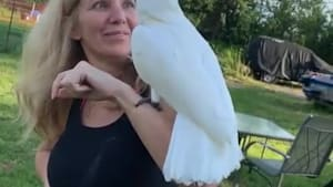 Cockatoo overly excited to be reunited with owner
