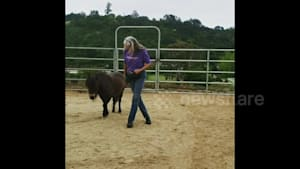Small pony with big moves square dances with owner