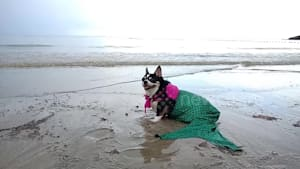 Happy chihuahua poses on Thailand beach as mermaid