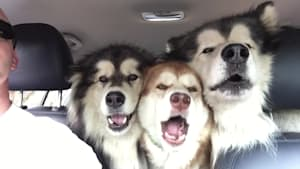 Alaskan Malamutes attempt to sing in harmony