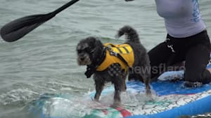 Dog Surfing Championship on the UK south coast