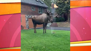 Moose cools off with lawn sprinklers on a hot day