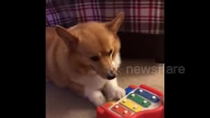 Corgi loves to play the piano