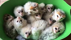 Owlets rescued after deforestation of their home