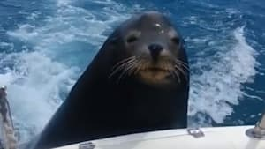 Seal catches a ride on tourist boat in Mexico