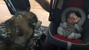 Alaskan Malamute dog meets baby for the first time