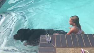 Newfoundland dog displays water rescue instincts