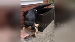 Adorable dog figures out how to break into toy box