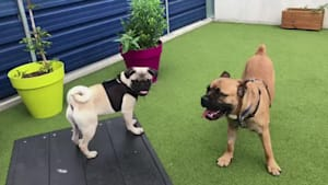 Dog with nervous disposition gets pug pal