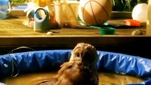 This adorable owl cooled off by splashing around