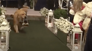 This golden retriever ring bearer is wedding goals