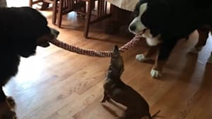 Tiny puppy wins tug-of-war