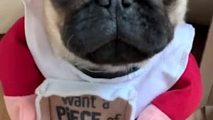 Pug is ready to become a pizza delivery driver