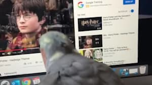 Parrot sings along to 'Harry Potter' theme song