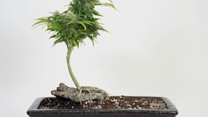 Check Out This Cannabis Bonsai Tree