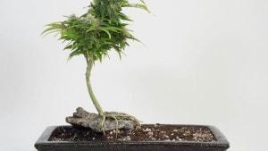 Check Out This Cannabis Bonsai Tree