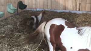 Wie süß! Minishetty auf der Ballermann Ranch geboren!