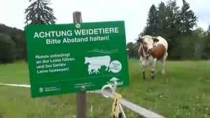Bayerische Bauern warnen Wanderer: Weg von den Kühen!