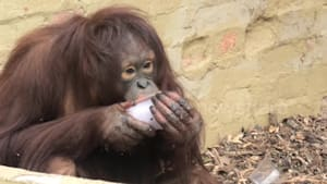 Orangutan loves ice treats during hot weather