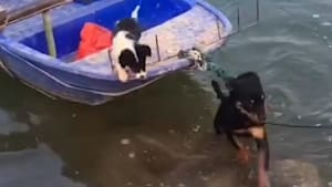 Heroic dog leaps into a river to save a puppy