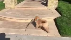 Puppy tries walking on steps and trips