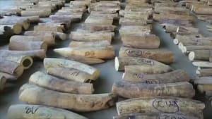 Experten: Löcher im Verbot des Elfenbeinhandels stopfen
