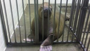 MarineLand's Down To 1 Walrus. Now Advocates Want To #SaveSmooshi