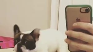 French Bulldog confused seeing own reflection