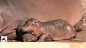 Mom is perfect pillow for sleepy baby hippo