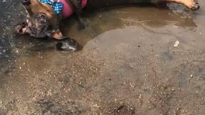 Puppy rolls around in mud on hot summer day