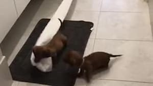 Puppies pull paper roll from toilet and play