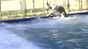 Dog Funnily Slips and Falls in Pool While Walking at its Edge