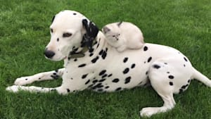 Dalmatian hangs out with sweet kitten friend