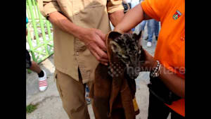 Adorable moment rare clouded leopard gets hand-washed clean in Indonesia